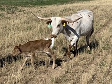 Bull calf 209 Royal Starlet